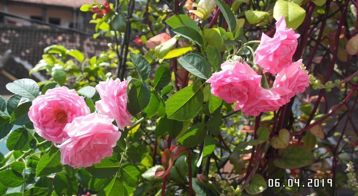 Bunga Mawar Semerbak Mewangi di Pagi Hari, Taman Bungaku yang Sederhana